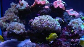 Bright fish swim in the aquarium. Bright colorful fish swim in the aquarium stock video