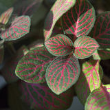 Bright fittonia foliage with red veins Stock Images