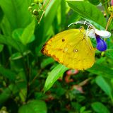 Bright Flier. A gorgeous bright yellow butterfly resting the orchid farms of Chiang Mai, Thailand Stock Images