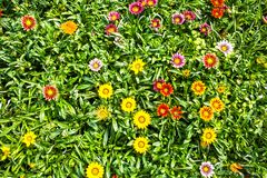 Bright floral background, a lot of beautiful Gazania flowers stock image