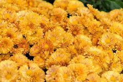 Bright floral background with lots of buds and flowers of chrysanthemums. Russia, Sochi Stock Photos