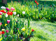 Bright flower bed full of colorful parrot tulips Stock Image