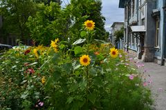 Bright flower bed with sunflowers on town street.  stock image