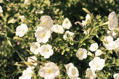 Bright flower bindweed on background of green foliage. Beautiful blurred natural background Stock Photo