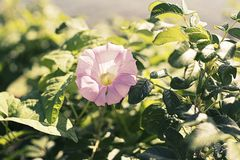 Bright flower bindweed on background of green foliage. Beautiful blurred natural background Royalty Free Stock Images