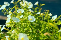Bright flower bindweed on background of green foliage. Beautiful blurred natural background Royalty Free Stock Photos