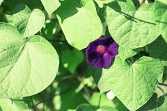 Bright flower bindweed on background of green foliage. Beautiful blurred natural background Stock Photography