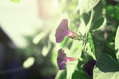 Bright flower bindweed on background of green foliage. Beautiful blurred natural background Stock Photos