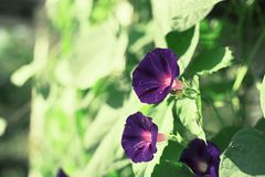 Bright flower bindweed on background of green foliage. Beautiful blurred natural background Stock Images