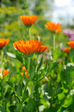 Bright flower of calendula Stock Photos