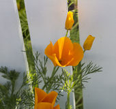 Bright flower of Californian Poppy in spring. Stock Photography
