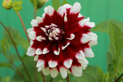 Bright flower of Dahlia in the garden. Bright blooming Dahlia in the garden Stock Photos