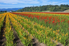Bright flower fields, Washington Royalty Free Stock Image
