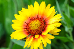 Bright flower gaillardia. Blooming buds bright garden flower of gaillardia Stock Image