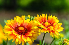 Bright flower gaillardia. Blooming buds bright garden flower of gaillardia Stock Photo