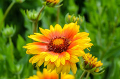 Bright flower gaillardia. Blooming buds bright garden flower of gaillardia Royalty Free Stock Images