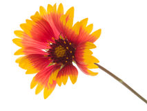 Bright flower Gaillardia Stock Images