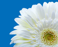Bright flower. Gerbera Royalty Free Stock Photography