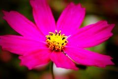 Bright flower. Bright harmonious flower against a dark background Stock Photos