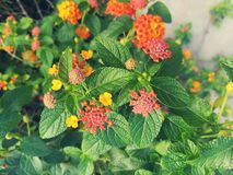The bright flower heads of lantana or weeping lantana is blooming in the green garden. Vivid beautiful hedge flower Royalty Free Stock Image