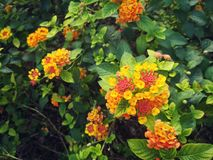 The bright flower heads of lantana or weeping lantana is blooming in the green garden. Vivid beautiful hedge flower Stock Images