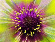 Bright flower on a iridescent  blurred background. Macro. Closeup. Furry violet-yellow center. Pistils sticking out like needles. Royalty Free Stock Photos