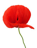 Bright flower of poppy isolated Stock Photography
