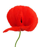 Bright flower of poppy isolated Stock Images