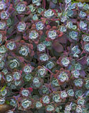Bright flower Sempervivum tectorum, succulents or crassulaceae with water drops. Closeup photo, selective soft focus. Plants, gard Royalty Free Stock Photography