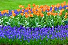 Bright flowerbed in Keukenhof Royalty Free Stock Image