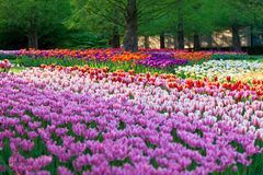 Bright flowerbed in Keukenhof Stock Photos