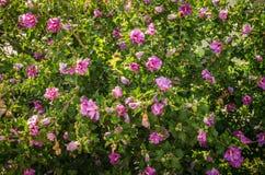 Bright flowering Bush hibiscus Stock Photos