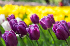 Bright flowering colorful flowers tulips in garden Stock Photo