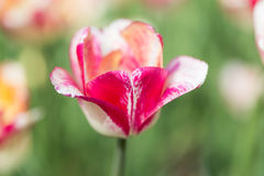 Bright flowering colorful flowers tulips in garden Royalty Free Stock Photography
