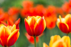 Bright flowering colorful flowers tulips in garden Stock Photos