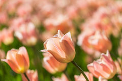 Bright flowering colorful flowers tulips in garden Stock Images