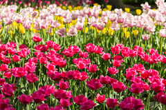 Bright flowering colorful flowers tulips in garden Stock Photography
