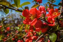 Bright flowering Japanese quince or Chaenomeles japonica. A lot of red flowers cover the branches. stock photos