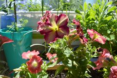 Bright flowering petunia in small urban garden on the balcony in sunny summer day.  royalty free stock images