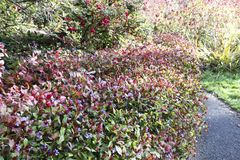 Bright flowering shrubs in autumn park. stock photos