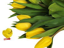 Bright flowering yellow spring tulips with small yellow chick.  Isolated Stock Photography