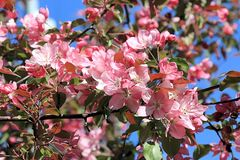 A blooming apple tree in its spring beauty royalty free stock photos