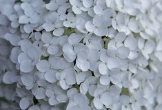 White hydrangea flowers on a summer day royalty free stock photos