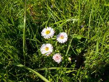 Daisy flowers in the meadow. Bright flowers daisy on background of green meadows Stock Photos