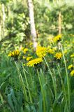 Bright flowers of dandelion on a Sunny forest glade. Royalty Free Stock Image