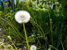 Dandelions in the meadow. Bright flowers dandelions on background of green meadows Stock Photo
