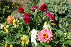 Bright flowers in the garden Royalty Free Stock Photos