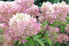 Bright flowers Hydrangea Limelight autumn Stock Photography