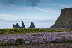 Bright flowers lupines on background of the mountains, Iceland Royalty Free Stock Images
