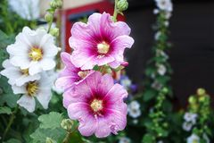 Bright flowers mallow. Four bright flowers mallow outdoor closeup on summer day Royalty Free Stock Photography